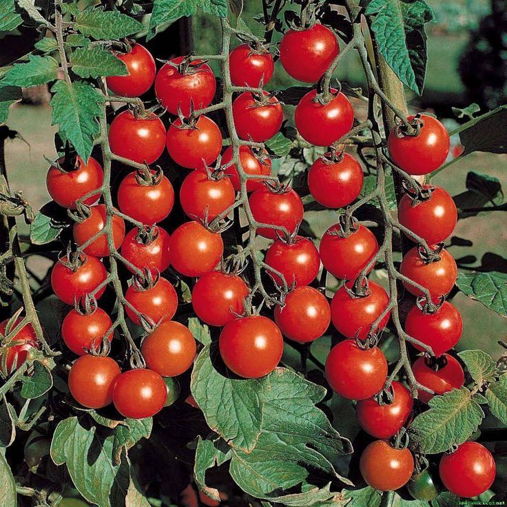 Выращивание помидоров: простые правила по уходу для ленивых