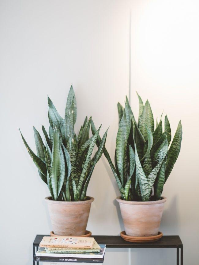Die besten Zimmerpflanzen für Anfänger - Bogenhanf - Pflanzenfreude.de