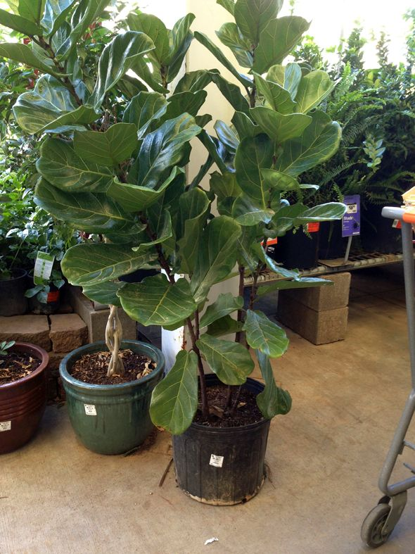 And Easy To Find Fiddle Leaf Fig Trees In The Garden Pinterest Tree Plants