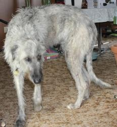 Lucky is an adoptable Irish Wolfhound Dog in Aurora, CO. I'm a 'Lucky' yes, a Lucky, female Irish Wolfhound, and I'm not afraid to tell my age, so here it is, I'm 5 years young and yes, my name is Luc...