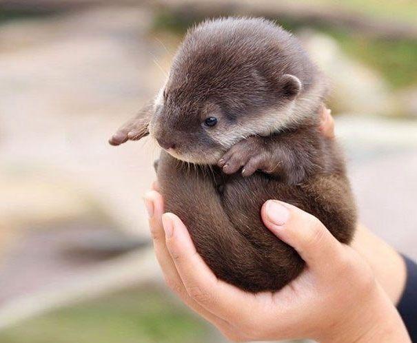 Zu süß für Worte: 30 Tierbabys in Handflächen..BABYOTTER.