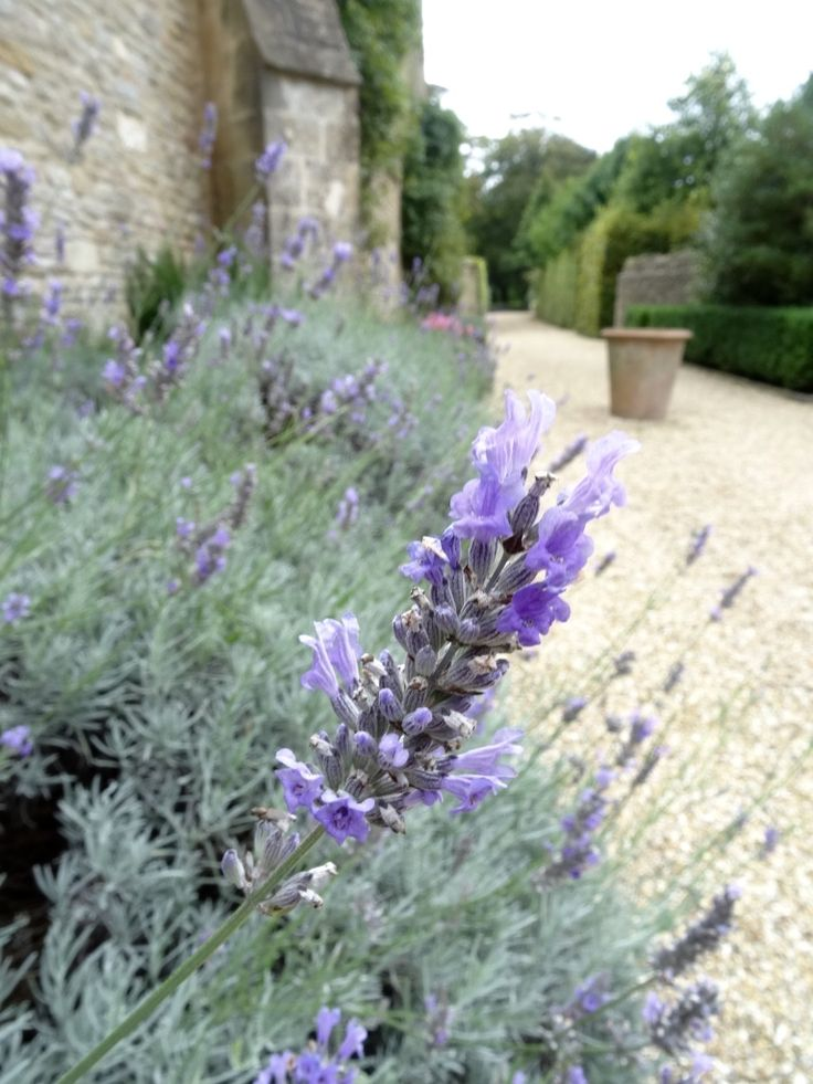 Late blooms of lavender scent the pathways http://www.calcot.co