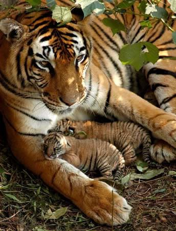 Tiger Mama & Her Babies..I love tigers