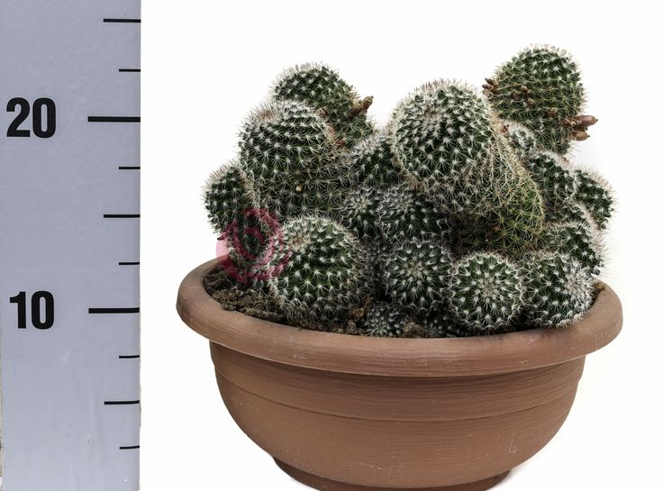 Mammillaria Spinosissima Rubrispina ciotola25 #Eurosa #ProducedThroughGreenTechnology