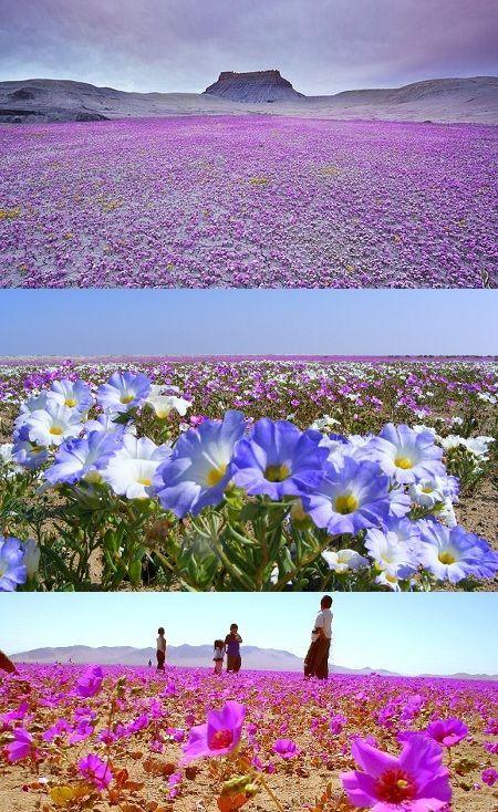 El desierto florido, Desierto de Atacama (Chile) El desierto florido es un fenómeno climático que se produce en el Desierto de Atacama, que …