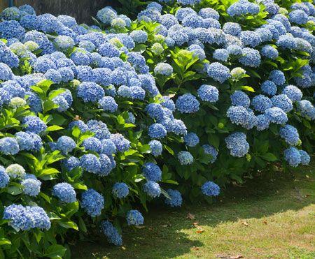 25+ best ideas about Endless summer hydrangea on Pinterest ...