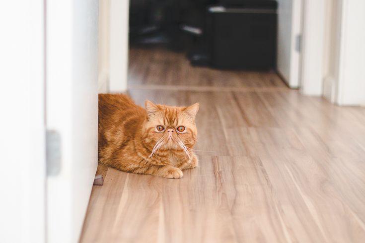Jimmy, um dos gatinhos da Lia Camargo (Just Lia) da raça Exotic Shorthair. Gato laranja que parece com o Garfield e com o Bichento de Harry Potter. Foto por Melina Souza.