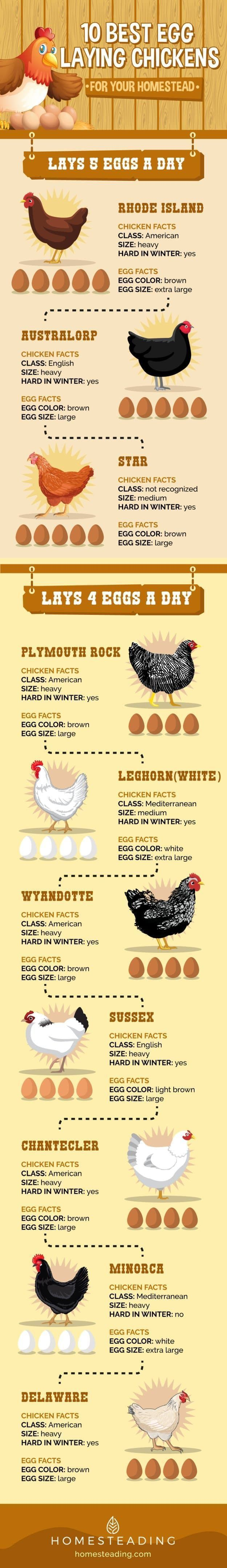 If you plan to raise chicken for eggs, this list will help you find out the best egg laying chickens to raise in your homestead. #RaisingChickens