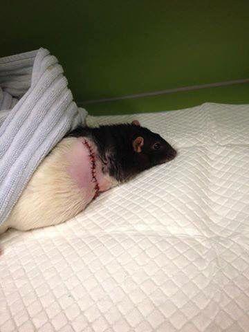 Ei rotte som har fått fjerna ein svulst