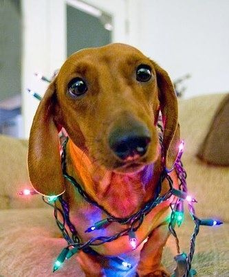 99 best Christmas Dogs images on Pinterest | Xmas, Animals and ...