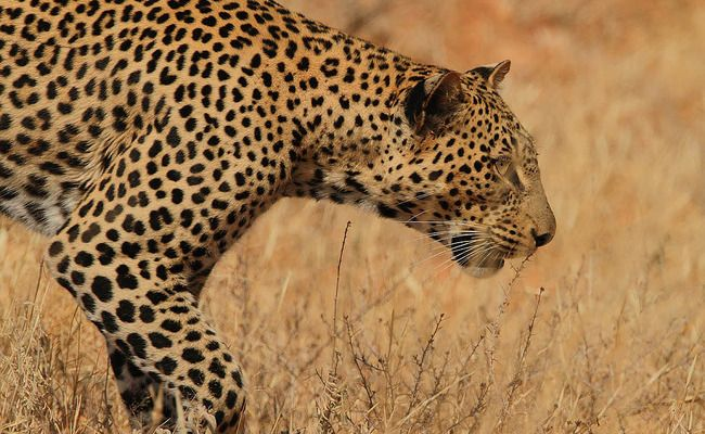Victory! South Africa Bans Leopard Hunts in 2016 | Care2 Causes