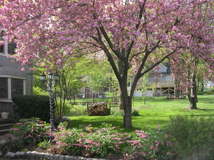 Flowering cherry tree kwanzan google search gardening for Small flowering trees for front yard