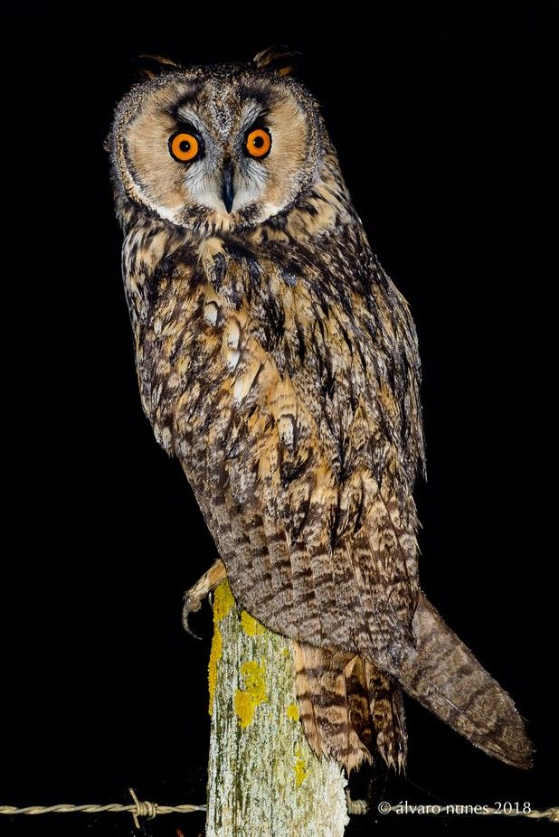 Bufo-pequeno | Long-eared owl | Asio otus