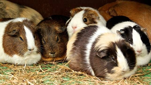 It's National Adopt A Rescued Guinea Pig Month, and these furry rodents aren't only adorable, but also fascinating.