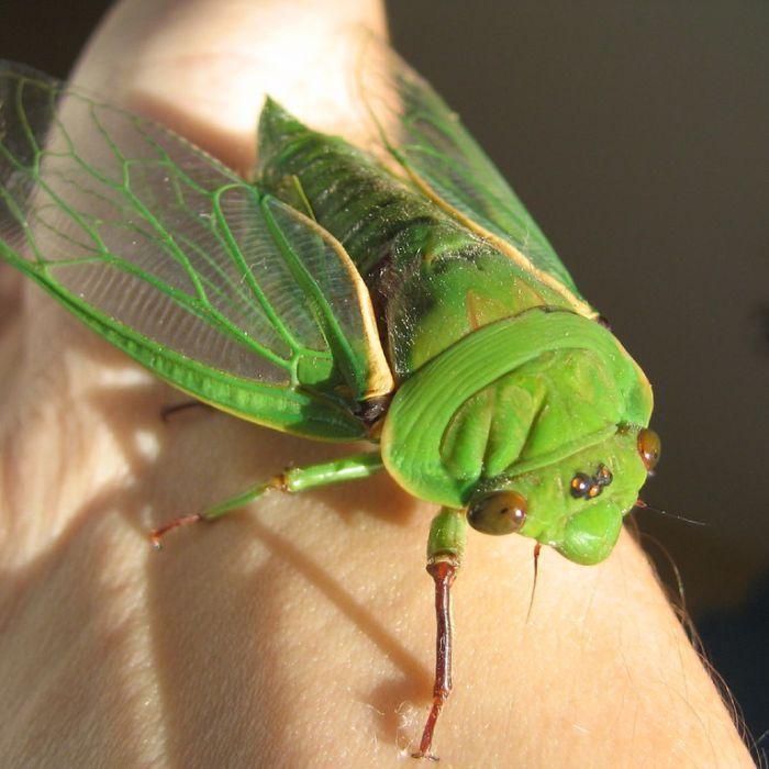 Cicadas. ABC