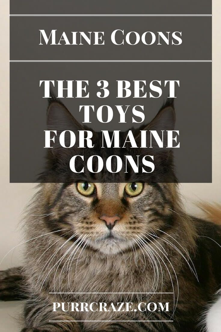 Pin On Maine Coon Care