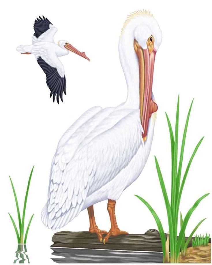 Pelicans Pelecanus Erythrorhynchos: 32 Best Images About Big Year On Pinterest