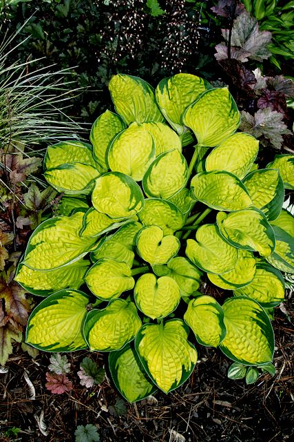 2013 HOSTA OF THE YEAR - 'RAINFOREST SUNRISE'. It forms a small mound 10″ high and 25″ wide—very useful in smaller shade gardens and smaller spaces. Its cupped and corrugated bright gold leaves with a sharply contrasting dark green margin are 6″ long and 5″ wide and really stand out in the shade. Has lovely near white flowers in July.