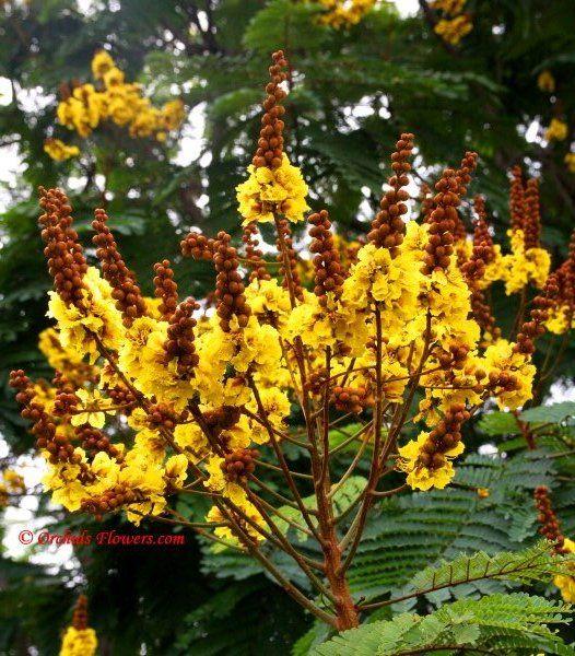 Yellow Poinciana (Peltophorum pterocarpum)