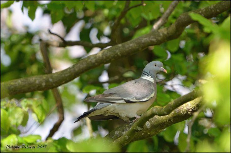 pigeon ramier, columba palumbus, birds, jardin
