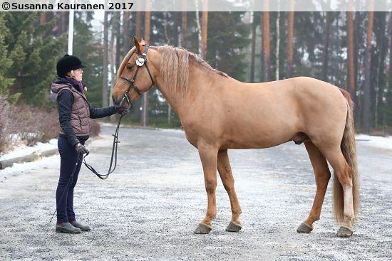 Finnhorse stallion Tähti-Viiva, 2003 by Tähti-Vokker out of Verkutar