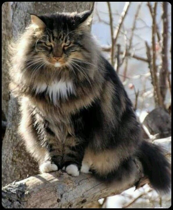 The Norwegian Forest Cat With Images Norwegian Forest Cat