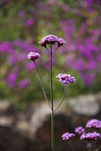 Blodyn Porffor / ?purple flowers | Marc Evans | Flickr