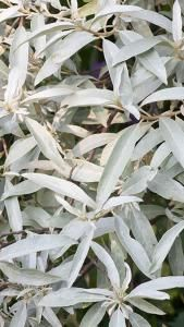 Elaeagnus Quicksilver Silver Foliage Plant, very attractive border plant for sale online with UK delivery