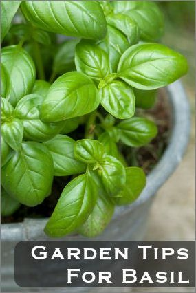 Basil growing tips