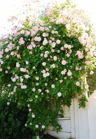 Cecile Brunner climbing rose bush - Sweetheart rose, polyantha rose