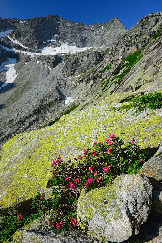 Alpenrosen und Granit Grubental, Berner Oberland