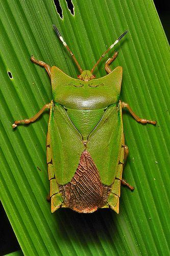 Giant Shield Bug (Asiarcha angulosa, Tessaratomidae)