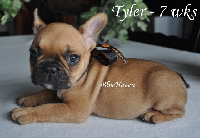 Fawn Frenchie | Dogs are the best | Pinterest