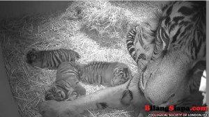 Tiga anak harimau Sumatra dilahirkan di bonbin London