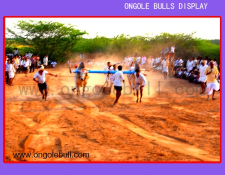Ongole Bull Race Image:: OngoleBull ::