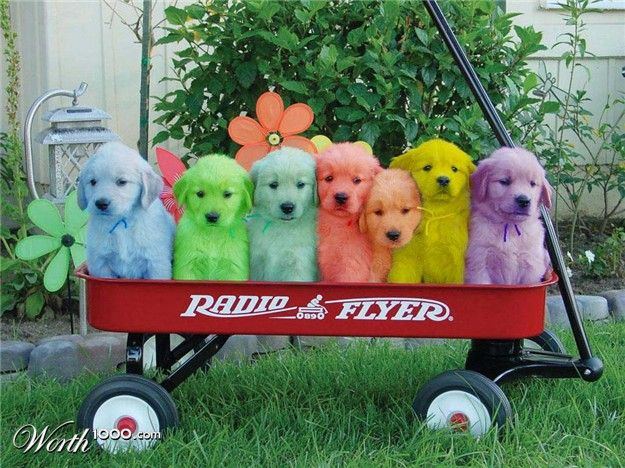 colored dogs: Golden Puppies, Puppies Pictures, Dogs, Red Wagon, Cutest Puppies, Labs Puppies, Radios Flyers, Animal, Golden Retriever Puppies