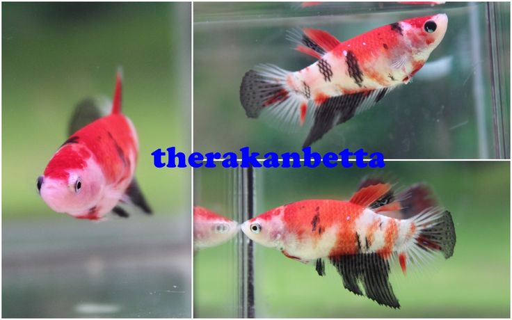 17 best images about koi bettas on pinterest mars red for Female koi fish
