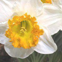 narcissus flower photo: narcissus IMG_5757.jpg