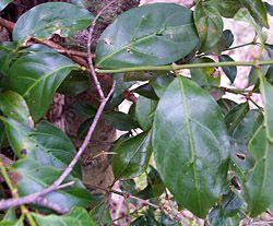Bush Tucker Plant Foods - Morinda jasminoides - Sweet Morinda