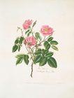 Rosa villosa = Double apple…