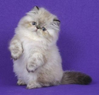 seal point persian kittens | The Himalayan Kitten Usd Lynx Seal Point Persian Point Female Weeks