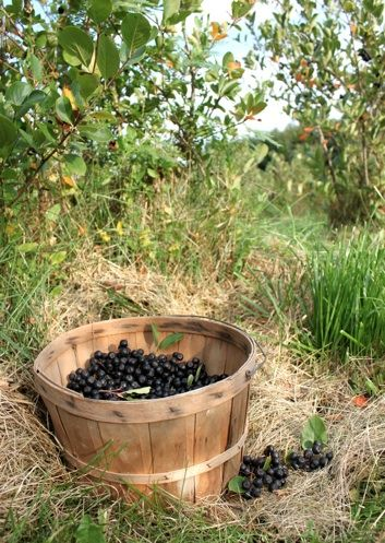 aronia berry bushes for sure getting these this year farm pinterest berries. Black Bedroom Furniture Sets. Home Design Ideas