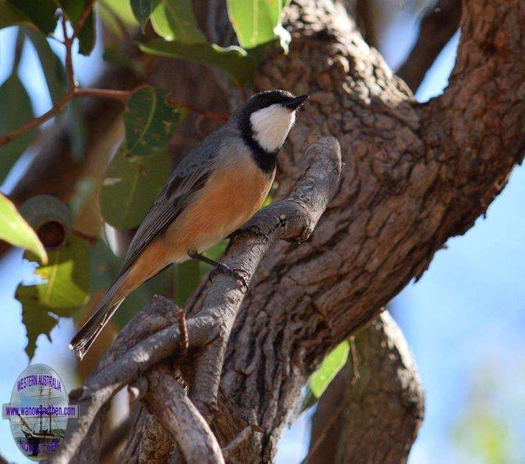 Rufous whistler - BIRDS OF WESTERN AUSTRALIA | Western Australia | www.wanowandthen.com