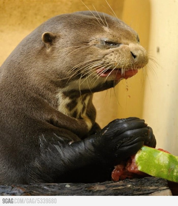 Never give watermelon to an otter...