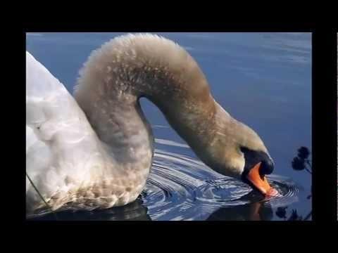 Saint-Saens Carnival of the Animals / The Swan ------------Artist: Orchestre philharmonique de Mexico, Fernando Lozano, Michel Drucker, Dany Saval