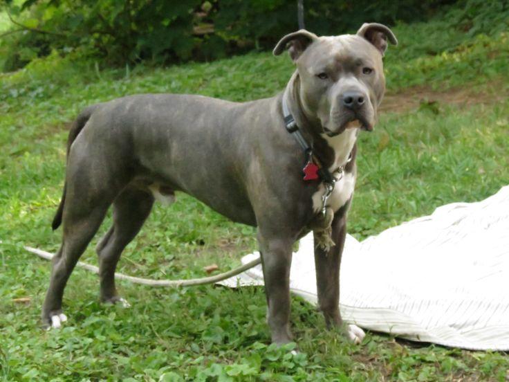 Blue brindle pitbull dogs, make dog eat dog food again, good and bad