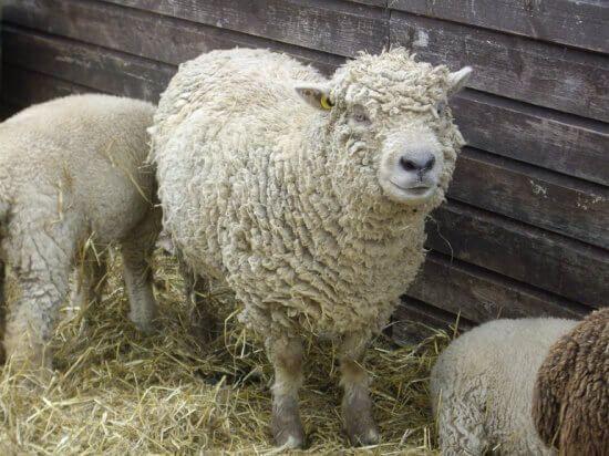 Cercetătorii Stațiunii de Cercetare- Dezvoltare a Ovinelor și Caprinelor (SCDOC) Popăuți din județul Botoșani au creat, de curând, o nouă rasă de ovine care ar putea revoluționa atât sectorul zootehnic, cât și industria alimentară. Potrivit directorului SCDOC Popăuți, Gheorghe Brădățan, 'noua creație biologică' este o oaie de carne rezultată din încrucișarea tradiționalei oi karakul dezvoltată