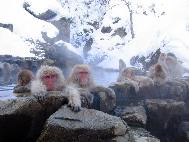Japanese Snow Monkey taking a dip in a hot spring-looks refreshing