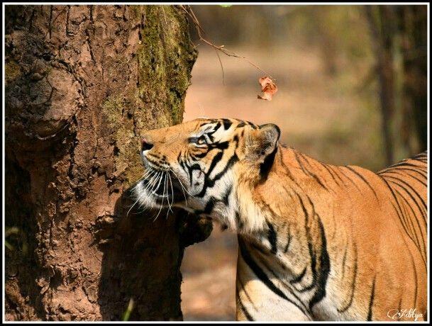 Tiger bandawgargh national park