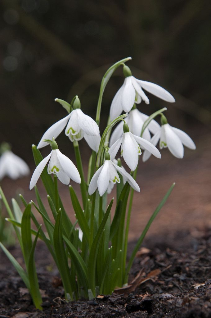 Galanthus Nivalis Snowdrop Flowers In Very Early Spring For Around The Ba Around Early Flowers Galanthu In 2020 Types Of White Flowers Growing Bulbs White Flowers
